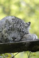 Leopard 010