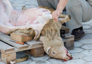 sheep slaughter