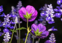Geranium and sage flowers