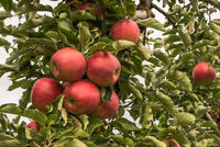 Ripe, red apples hanging on an apple tree, Hagnau am Bodensee, Baden-Wuerttemberg, Germany