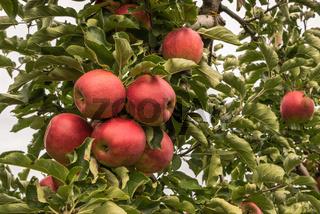 Reife, rote Äpfel hängen an einem Apfelbaum, Hagnau am Bodensee, Baden-Württemberg, Deutschland