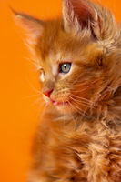 Portrait of pretty male kitten American Forest Coon of color red classic tabby on orange background