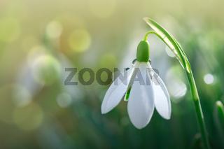 Snowdrops on bokeh background in sunny spring garden under sunbeams.