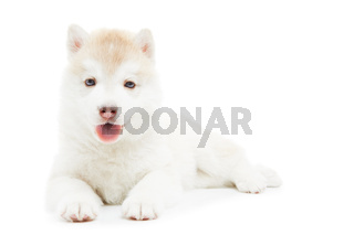 one Siberian husky puppy isolated