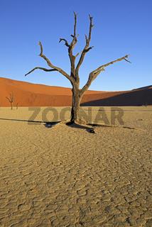 Kameldornbaeume (Acacia erioloba), auch Kameldorn oder Kameldorn