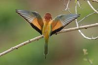 Bienenfresser (Merops apiaster) fliegt auf einen Ast