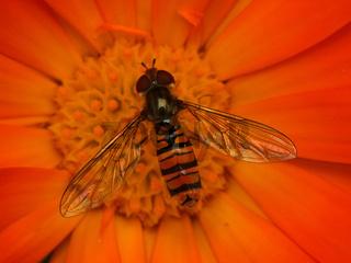 Schwebfliege auf Ringelblume
