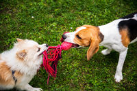 Two dogs playing tug of war with a rope