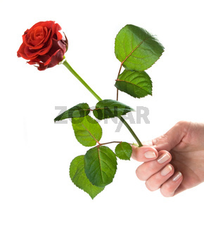 Giving a rose. Woman's hand holding red beautiful rose. Conceptual