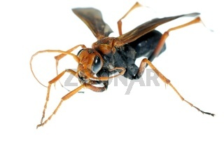 wasp insect macro isolated on white background