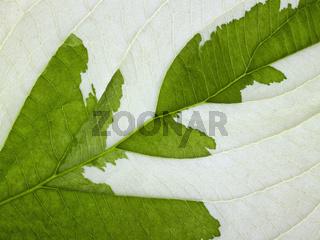 eroded leaf detail