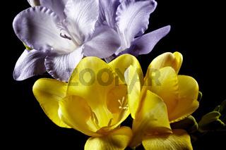 Rosafarbene und gelbe Fresie