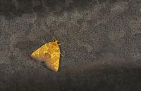 Siglophora Ferreilutea, Noctuidae, Meghalaya, India