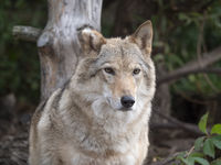 Grey Wolf Canis lupus Portrait - captive animal