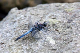 Southern skimmer dragonfly - Orthetrum brunneum