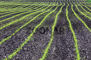 Intensiv-Landwirtschaft mit Mais