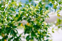Green kumquat fruit or fortunella on a tree.