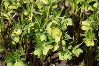 Helleborus odorus, smelling hellebore