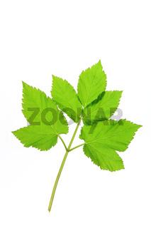 Giersch (Aegopodium podagraria)