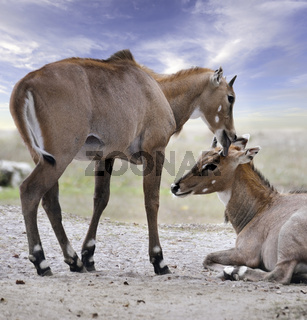Asian Antelopes Nilgai