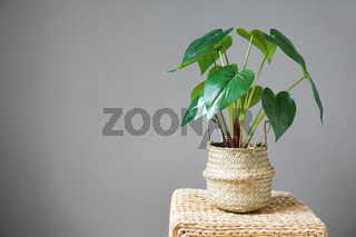 potted house plant against gray wall background