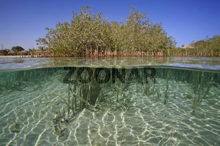 Mangroven im Roten Meer, Mangroves in the Red Sea