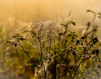 Cobweb and dewdrops on the branches of a rosehip bush at a foggy morning dawn
