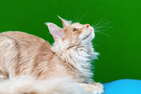 Portrait of red tabby Maine Coon Cat lying and looks up on green and light blue background