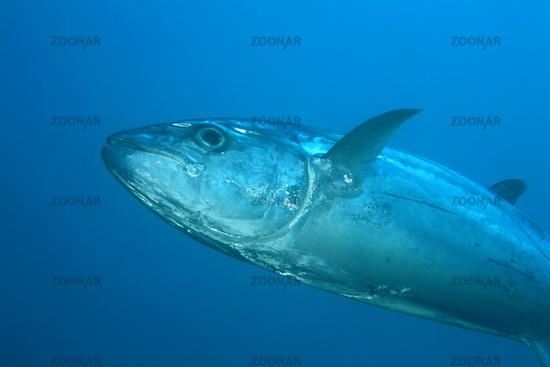 Dogtooth Tuna, Gymnosarda unicolor