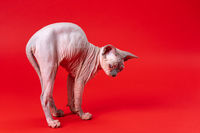 Beautiful female Canadian Sphynx Cat four months old stands on outstretched paws on red background