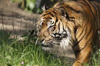 Sumatra Tiger - Panthera tigris sumatrae