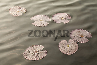 lily pad on water