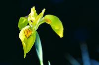 210610-241 Sumpfschwertlie, Yellow flag, Iris pseudacoris.jpg