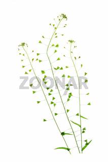Hirtentäschel (Capsella bursa-pastoris)