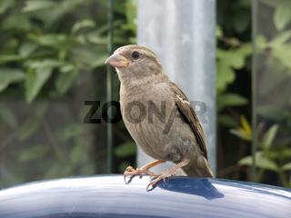 Haussperling - house sparrow