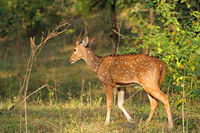 A male spotted deer or chital (Axis axis) in natural habitat