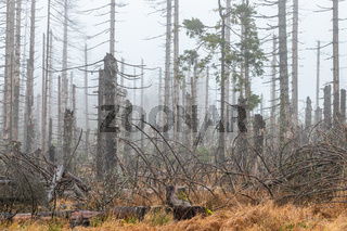 Toter Wald  Harz