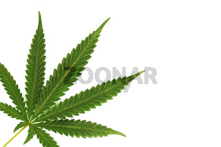 cannabis leaf isolated on white background