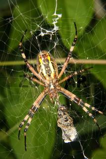 Wespenspinne (Argiope bruennichi) / Wasp spider (Argiope bruennichi)
