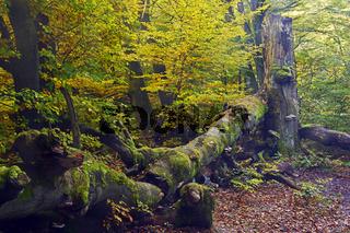 Ca. 400 Jahre alte Buche (Fagus) im Herbst, Urwald Sababurg, Hes
