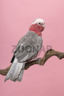 Pretty pink galah cockatoo, seen from its back sitting on a branch on a pink background