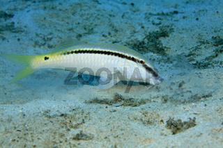 Rotmeer-Barbe, Red Sea Goatfish, Parupeneus forsskali