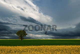 One tree and perfect grass field.Beautiful cloudscape.
