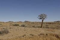 Quiver tree in desert