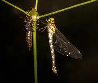 Macro of a dragnonfly