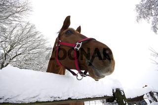 Aufmerksam über einen Zaun schauendes Pferd