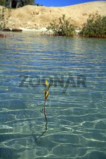 Mangrove im Roten Meer, Mangrove in the Red Sea