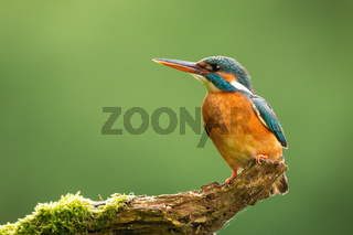 Common kingfisher looking on tree with space for text