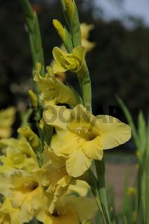 Gladiolus-Hybridus, Gladiole, Sword lily