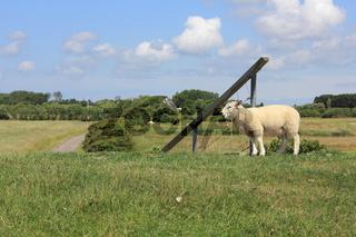 Lamm auf einem Deich bei Morsum auf Sylt